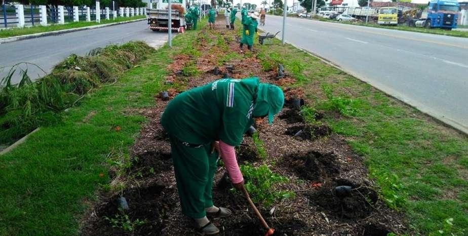 Mudas estão sendo plantadas na Rodovia BR 316. Foto: Ascom Semds